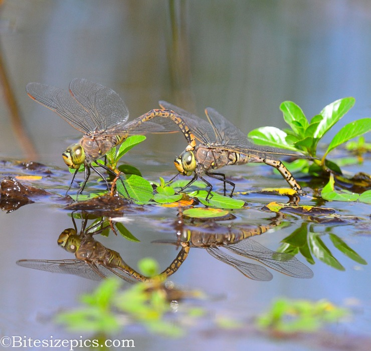 dragon flies mating