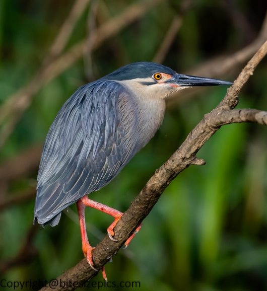 Striated heron (1 of 1)