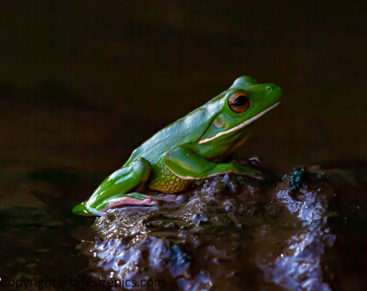 Tree Frog (1 of 1)